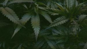 loi cannabis