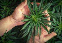 cannabis législation